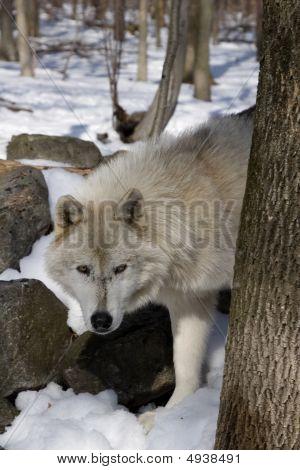 Arctic Wolf (Canis lupus arctos) in snow poster