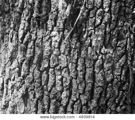 Oak Tree Bark Black And White