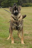 A police dog shows the business end of his teeth.  Selective focus with movement accentuating aggressive stance. poster