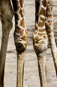 Giraffe (Giraffa camelopardalis) Legs showing only knees and part of the legs poster
