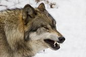 Timber Wolf (Canis lupus lycaon) growling in snow poster
