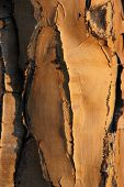 Structured bark of a quiver tree in Namibia poster