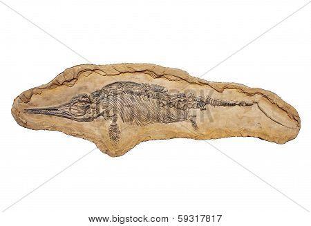 Stenopterygius Quadriscissus
