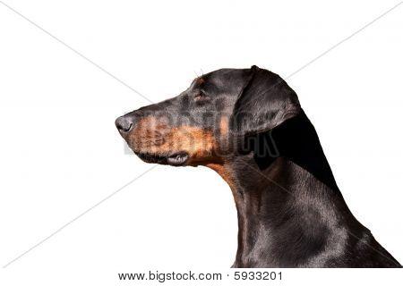 Portrait Of A Regal Dobermann