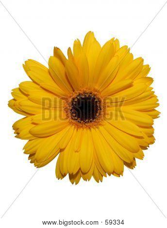 Yellow Gerbera Flower Isolated