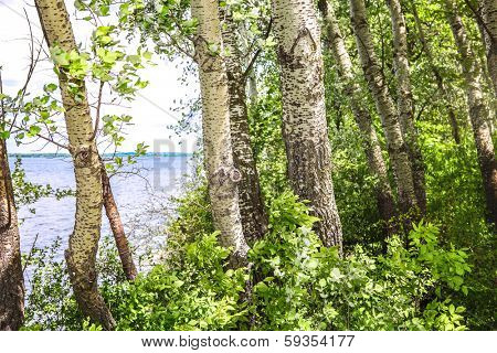 Grove of White poplar trees