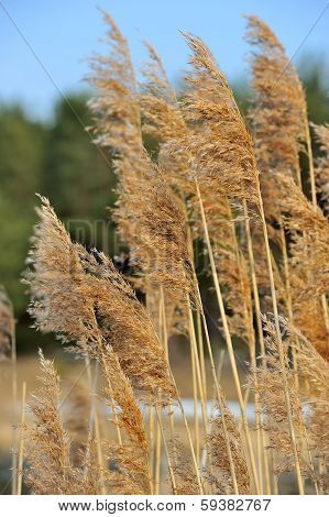 Panicles Of Common Reed (Phragmites)