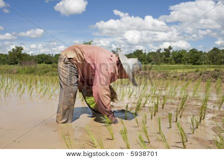 Asian Woman Works On The Rice Field