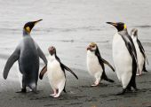 Three Royal (Marconi) penguins confidently march between two King penguins. poster