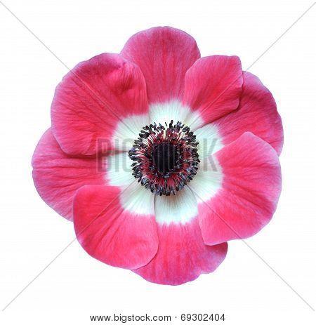 Mona Lisa Pink Blush Flower