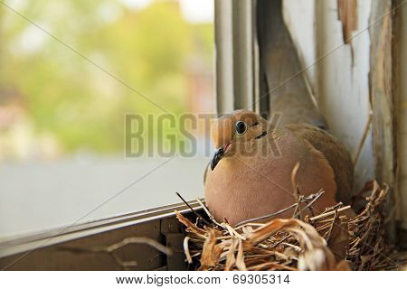 Mourning dove bird nesting on a window sill poster