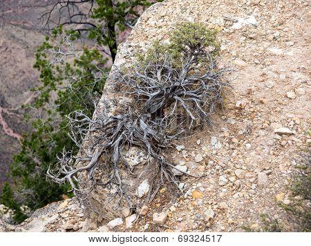 Wild Treelike Thyme Growing On The Rock In Grand Canyon