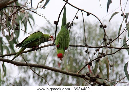 Two Parrots in tree