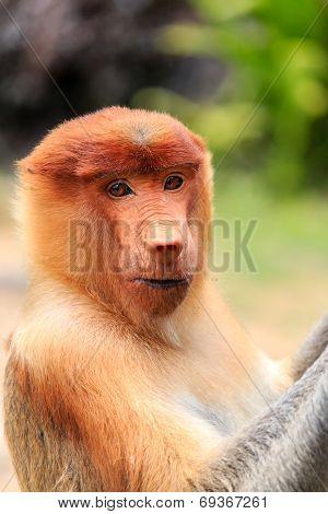 Curious Proboscis Monkey