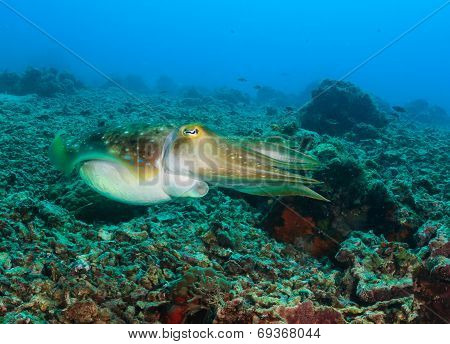 Cuttlefish On A Reef
