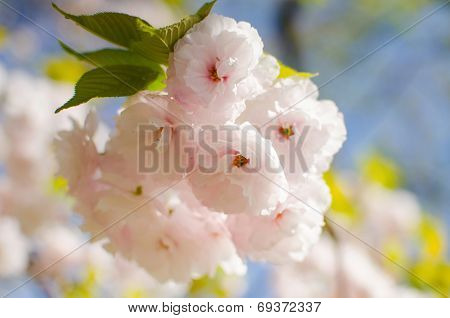 Cherry Blossoms Flower , Sakura
