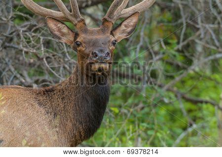 Elk Looking Toward The Camera Close Up