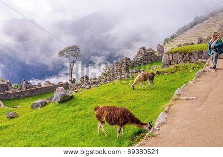 Senior tourist watching llamas in ruins of Machu Picchu, Peru
