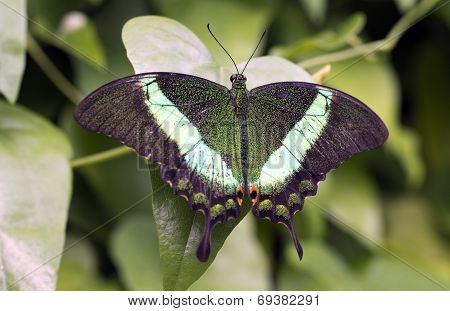 Emerald Swallowtail Emerald Peacock or Green-banded Peacock poster