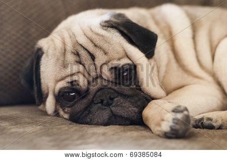 Cute Pug Dog Lying Resting On The Sofa