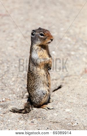 Prairie Dog (cynomys) On The Lookout In Banff