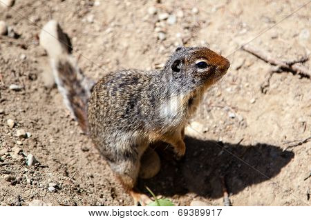 Curious Prairie Dog (cynomys) In Banff