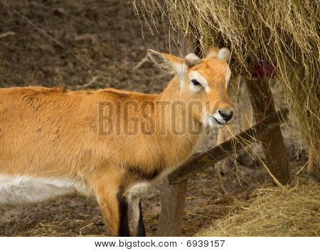 Young Blackbuck Antelope Eating Straw