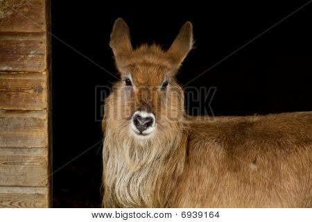 Portrait Of Waterbuck In Shelter
