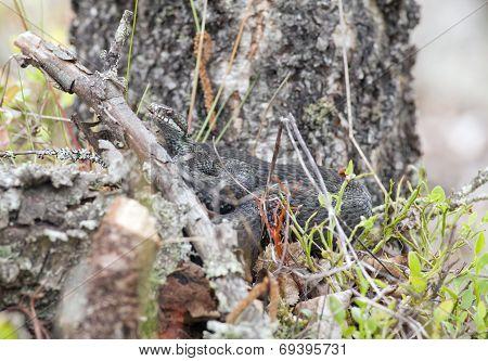 Viper, adder in their habitats.