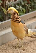 beautiful gorgeous pheasant , in the coloured dress. Chrysolophus pictus poster