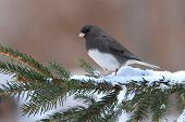 Dark-eyed Junco (junco hyemalis) on a branch in winter poster