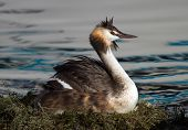 Crested grebe, podiceps cristatus, duck brooding nest on the lake poster