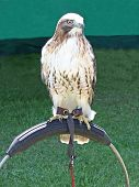 A Beautiful Bird of Prey Tethered to a Metal Stand. poster