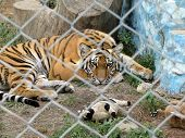 Sad lonely tiger surrounded by toys in the cage poster