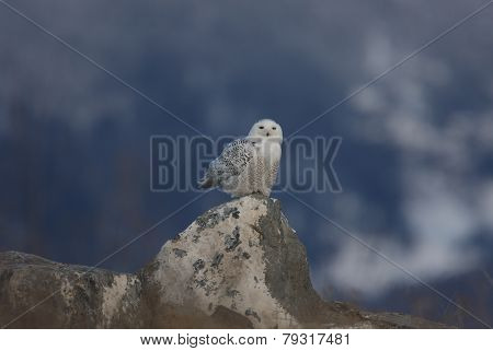 Snowy owl on a rock