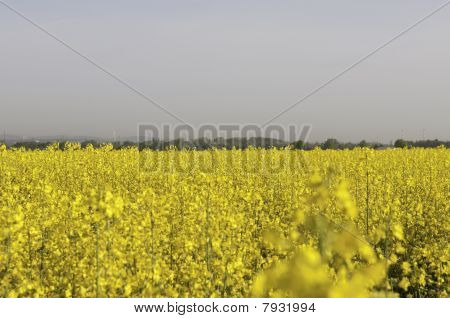 Canola field on the outskirts I