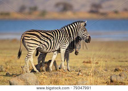 Plains Zebras (Equus burchelli), Pilanesberg National Park, South Africa