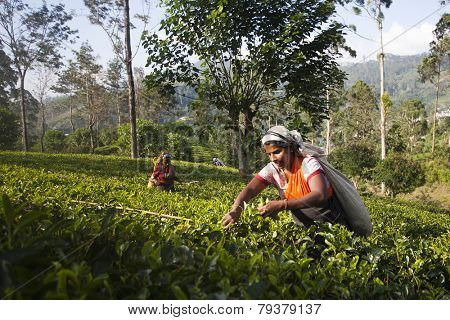 MASKELIYA, SRI LANKA - JANUARY 4 : Female tea picker in tea plantation in Maskeliya, January 4, 2015. Directly and indirectly, over one million Sri Lankans are employed in the tea industry.
