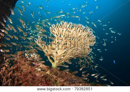 Acropora Table Coral and fish