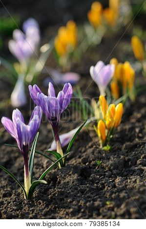 Crocus Flower In The Field