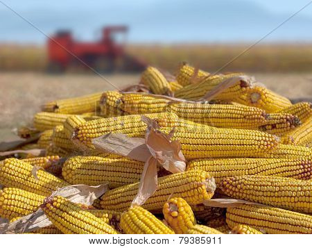 Corn maize cobs during harvesting season and combine harvester in background. poster