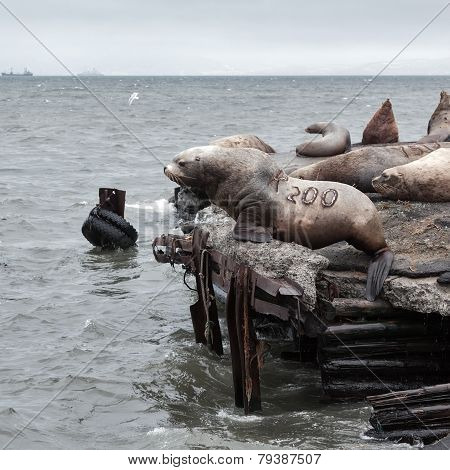 Group Steller Sea Lion (eumetopias Jubatus) On Rookery. Kamchatka Peninsula