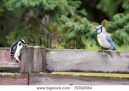 Hairy Woodpecker Stealing From Blue Jay