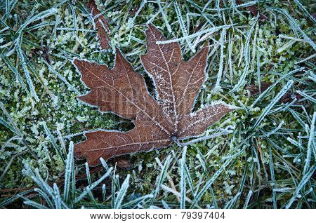 Dry Maple Leaf On A Frost Touched Lawn