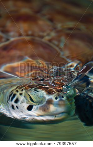 Green Sea Turtle Submerging Head In The Water