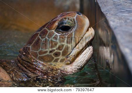 Green Sea Turtle In The Farm Pool