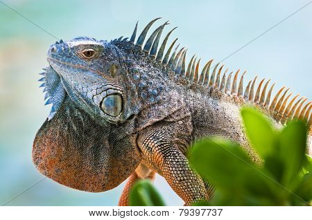 Iguana With Colorful Throat Fan