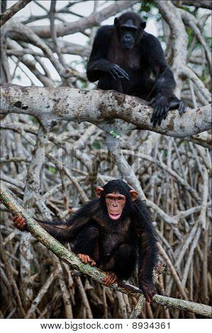 Chimpanzee On Roots Mangrove Tree.