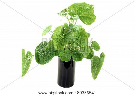 Green Wasabi Leaves With Blossoms
