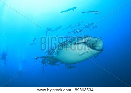 Whale Shark underwater accompanied by Remora fish